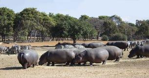 Hippos en zebraskudde Stock Foto