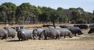 Hippos en zebraskudde Stock Fotografie