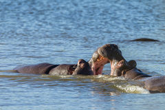 Hippos Fight Wildlife Royalty Free Stock Photography