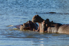 Hippos Fight Wildlife Stock Photography