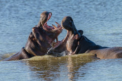 Hippos Fight Wildlife Stock Photos