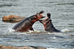 Hippos fighting. Two hippos fighting in river Stock Photos