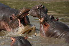 Hippos Fighting in Africa. Hippos Fighting - Serengeti Wildlife Conservation Area, Safari, Tanzania, East Africa Royalty Free Stock Photo