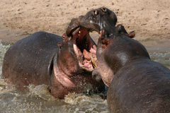 Hippos Fighting in Africa Royalty Free Stock Image