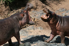 Hippos Fighting in Africa. Hippos Fighting - Serengeti Wildlife Conservation Area, Safari, Tanzania, East Africa Stock Photography
