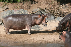 Hippos Fighting in Africa Royalty Free Stock Photos