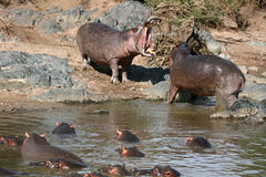 Hippos Fighting in Africa Stock Photo