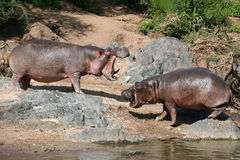 Hippos Fighting in Africa Royalty Free Stock Images