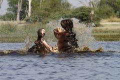 Hippos Fighting Royalty Free Stock Photo