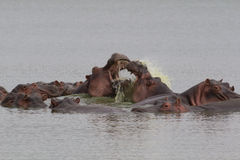 Hippos fighting Royalty Free Stock Image