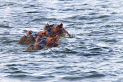 Hippos floating in lake Naivasha Stock Images
