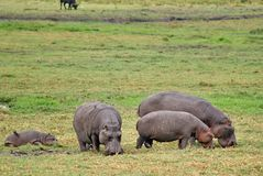 Hippos grazing in Botswana. Hippos grazing on a grass plain in Chobe National Park, Botswana royalty free stock images