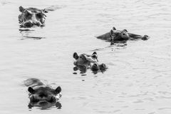 Hippos at sunset in the Luangwa River. Black and white picture of hippos in the Luangwa river Royalty Free Stock Images