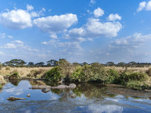 Hippos have a rest in the water hole Royalty Free Stock Images