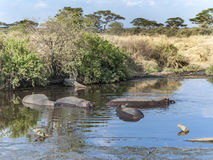 Hippos have a rest in the water hole Royalty Free Stock Photos