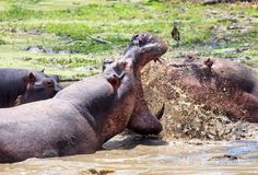 Hippo`s fighting with teeth bared and water splashing in South Luangwa, Zambia Royalty Free Stock Photography