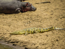 Hippos having sun bathing with a crocodile Royalty Free Stock Images