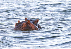 Hippos with heads above the water Stock Image