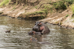 Hippos het koppelen in rivier, Serengeti, Tanzania stock fotografie