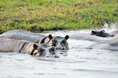 Hippos in het Nationale Park van Chobe, Botswana Stock Afbeeldingen
