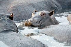 Hippos in het Nationale Park van Chobe, Botswana Royalty-vrije Stock Afbeeldingen