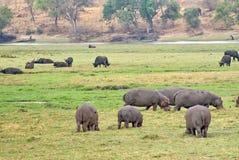 Hippos het weiden in Botswana Royalty-vrije Stock Foto's