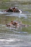 Hippos (Hippopotamus amphibius) Stock Photography