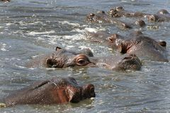 Hippos (Hippopotamus amphibius) Stock Photo