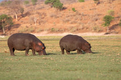 Hippos Royalty Free Stock Image