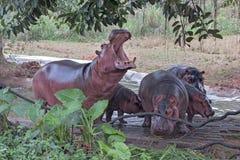Hippos (Hippopotamus) Stock Photos