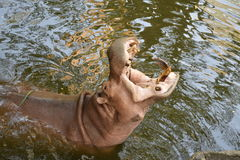 HIPPOS HIPPOPOTAMUSES MOUTH OPEN. The original photo with no filter to reflect authenticity and reality of subjects stock image
