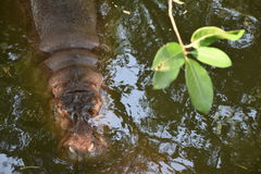 HIPPOS HIPPOPOTAMUSES IN WATER. The original photo with no filter to reflect authenticity and reality of subjects stock image