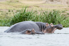 Hippos - Hipppotamus Stock Photo
