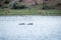 Free Hippos In A Waterdam In Welgevonden Royalty Free Stock Photo - 143120225