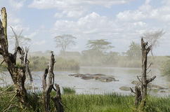 Hippos In River In Serengeti National Park Stock Photography