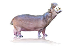 Hippos isolated on white Royalty Free Stock Images