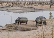 Hippos in Kariba-Meer in Charara Safari Area National Park South Afrika stock foto's