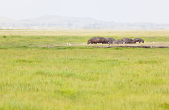 Hippos in Kenya. A group of hippos in Amboseli National Park in Kenya Royalty Free Stock Images