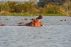 Hippos in Lake Naivasha Stock Photos