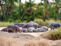 Hippos laying on the ground royalty free stock photo