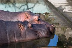 Hippos in love. In a zoopark Royalty Free Stock Photos