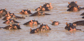 Hippos, Mara River, Tanzania Royalty Free Stock Images