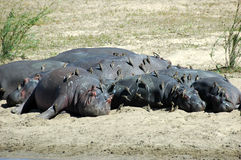 Hippos met redbilled oxpeckers Stock Foto