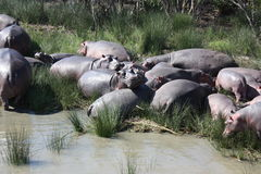 Hippos in moeras, Cape Town, Zuid-Afrika Stock Foto's