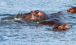 Hippos near the shoreline. Hippos surface to breathe near the shoreline of the Nile river in Uganda royalty free stock image