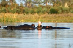 Hippos in the Okavango delta, Botswana Royalty Free Stock Photos