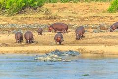 Hippos at Olifants River royalty free stock photo