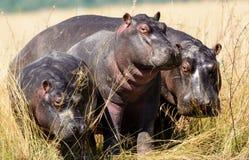 Hippos op de banken van de Chobe-rivier royalty-vrije stock afbeeldingen