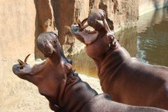 Hippos Opened Their Mouths Waiting For Food.  Royalty Free Stock Images