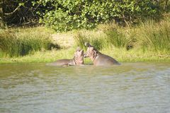 Hippos opening mouths in a sequence of shots in the Greater St. Lucia Wetland Park World Heritage Site, St. Lucia, South Africa Stock Photography